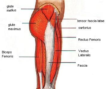 hip muscles image