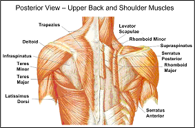 shoulder muscles image