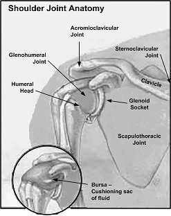 anatomy of the shoulder picture